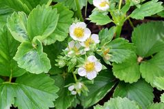 Fragaria Vesca Strawberry Plant Gardening Planting Stock Photo. Fragaria Vesca Strawberry Plant Fruit Gardening Planting Stock Photo royalty free stock images