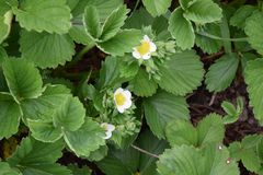 Fragaria vesca Strawberry Plant Gardening Planting Stock Photo. Fragaria Vesca Strawberry Plant Home Gardening Planting Stock Photo royalty free stock photography