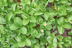 Fragaria vesca Truskawkowej rośliny ogrodnictwa flancowania zapasu fotografia zdjęcia royalty free