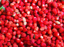 Fragaria vesca, Woodland Strawberry Royalty Free Stock Photo
