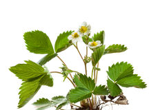 Fragaria vesca Royalty Free Stock Photos