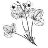 Fragaria viridis Στοκ Φωτογραφία