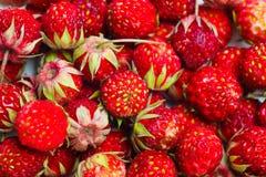 Fragaria viridis, Wild Strawberry Royalty Free Stock Photography