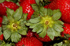Fragaria x ananassa, Garden strawberry Stock Photography