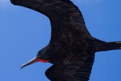 Fragata de Galápagos Foto de Stock