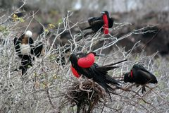 Fragatas, Galápagos fotografia de stock royalty free