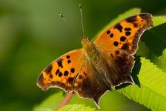Frage Mark Butterfly Lizenzfreie Stockbilder