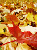 Fragile. One red leaf between thousands of yellow and orange Royalty Free Stock Images