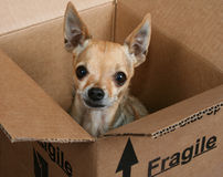 Fragile. A tiny chihuahua in a box marked fragile Stock Photos