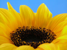 Fragile. Close-ups of beauty sunflower on blue background royalty free stock images