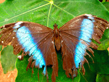 Fragile Amazon Butterfly Royalty Free Stock Photos
