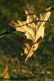 Fragile autumn oak leaf. Fragile autumn oak leaf in the morning sun sprinkled with dew Royalty Free Stock Image