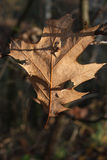 Fragile autumn oak leaf. Fragile autumn oak leaf in the morning sun sprinkled with dew Royalty Free Stock Photography