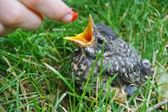 Barak`n Robin: baby robin being fed a raspberry. A fragile baby robin affectionately named `Barack`n Robin` is being fed in the grass in early Spring in Iowa Stock Image
