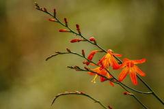 The fragile beauty of the mountain flowers. Is well expressed by orange mountain bell stock image