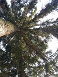 Fragile branches of an evergreen tree cover the sky. royalty free stock photos