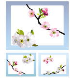 Fragile cherry blossoms Stock Photo