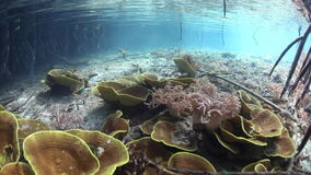Fragile Corals at Edge of Mangrove in Raja Ampat stock footage