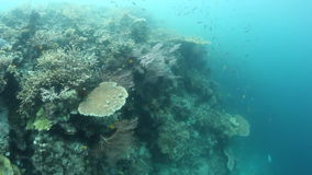 Fragile Corals and Fish on Edge of Reef in Indonesia. Corals and fish thrive on the edge of a shallow reef in Raja Ampat, Indonesia. This remote region harbors stock video footage