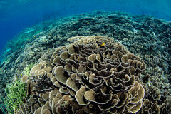 Fragile Corals Grow in Indonesia Royalty Free Stock Photos