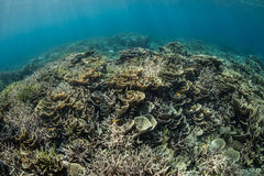 Fragile Corals on Healthy Reef Stock Images