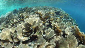 Fragile Corals in Raja Ampat stock footage