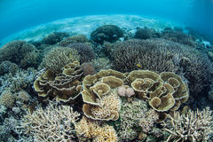 Fragile Corals on Shallow Pacific Reef Royalty Free Stock Photos