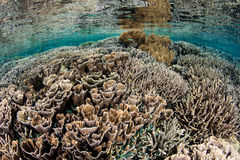 Fragile Corals in Shallows of Komodo National Park. Fragile corals grow in the shallows of Komodo National Park, Indonesia. This region is highly biodiverse and Royalty Free Stock Image