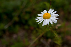 Fragile daisy. Fragile little flower with pure white and yellow Royalty Free Stock Photography