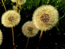 Fragile dandelions Stock Photography