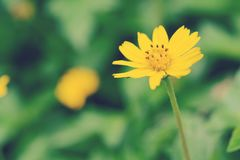 Fragile delicate yellow flower Stock Images