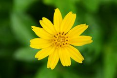 Fragile delicate yellow flower Royalty Free Stock Photos