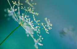 Fragile Dill umbels. Close-up of Dill flower umbels in autumn Royalty Free Stock Image