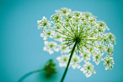 Fragile Dill umbels stock photography