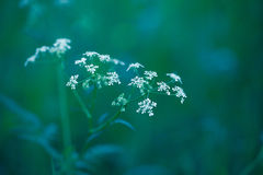 Fragile Dill umbels Royalty Free Stock Photo