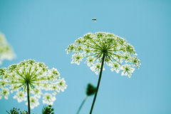 Fragile Dill umbels stock photo