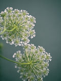 Fragile Dill Umbels on Summer Meadow Royalty Free Stock Photos