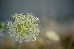 Fragile Dill Umbels on Summer Meadow Stock Photography