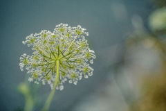 Fragile Dill Umbels on Summer Meadow Stock Image