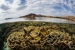 Fragile Foliose Corals in Komodo Royalty Free Stock Image