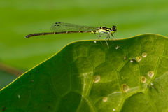Fragile Forktail Royalty Free Stock Image