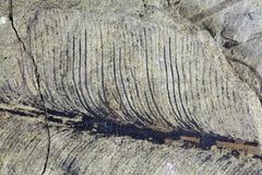 Fragile Fossil Plant Leaf Stock Photography