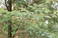 Fragile glittering green fir branch. Raindrops do the thin branch of a fir tree sparkle and make it brittle and breakable stock photo
