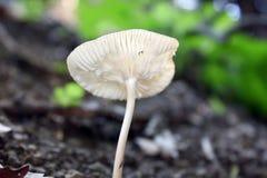 Fragile mushroom Stock Image
