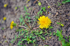 Fragile one yellow dandelion. Beauty of nature Stock Image