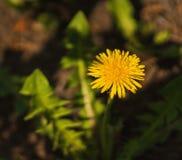 Fragile one yellow dandelion. Beauty of nature Stock Image