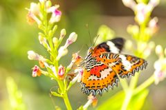 A fragile orange bright butterfly collects nectar on a pink flower. A fragile orange bright butterfly Cethosia collects nectar on a pink flower. Garden of stock images