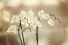 Fragile orchids Royalty Free Stock Photo