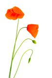 Fragile poppies. Over a white background Stock Photo