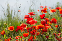 Fragile poppy flowers in backlit Royalty Free Stock Photos